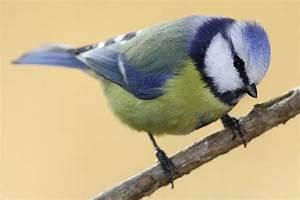 Kleine Vögel Im Garten : vogelkunde v gel bestimmen nabu ~ Lizthompson.info Haus und Dekorationen