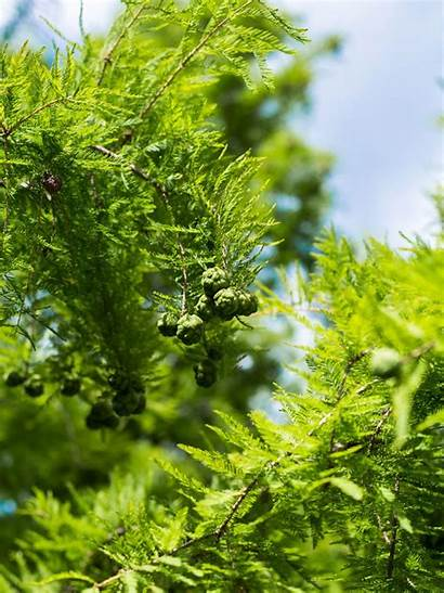Cypress Trees Tree Growing Types Care Ornamental