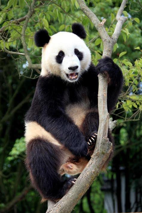 photo panda geant de chine  chine informations
