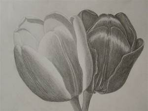 Tulip Sketches In Pencil | www.imgkid.com - The Image Kid ...