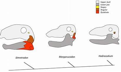Evolution Mammals Mammal Bones Science Tales Rise