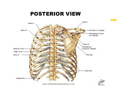 Floating Ribs Posterior
