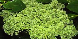 Azolla filiculoides - Tropica Aquarium Plants