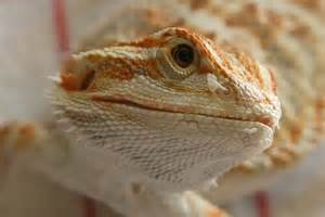 knecco s photo fun thread bearded dragon org