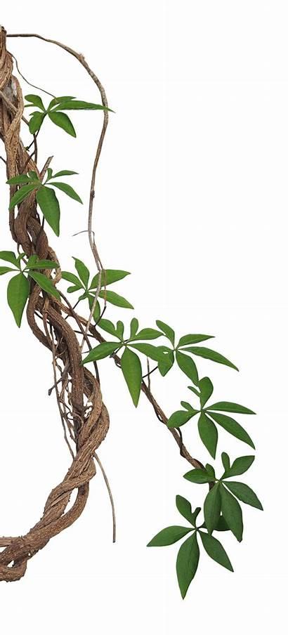 Jungle Vine Tropical Rainforest Transparent Clipart Leaf