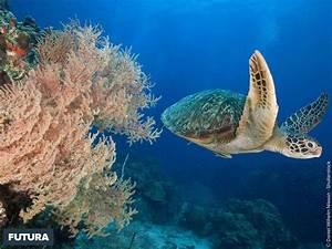 Fond Ecran Mer : tortue de mer fond d ecran ~ Farleysfitness.com Idées de Décoration