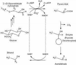 Ethanol Fermentation Reaction