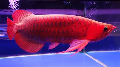 platinum arowana   expensive fish   world