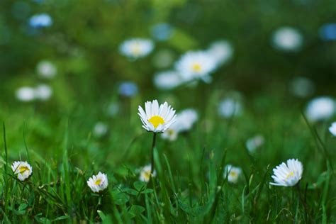 daisy images  stock