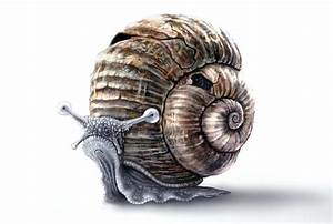 realistic snail drawing - Google Search | ANIMALS ...