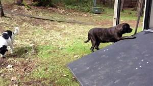 a doggie door for an english mastiff youtube With mastiff dog door