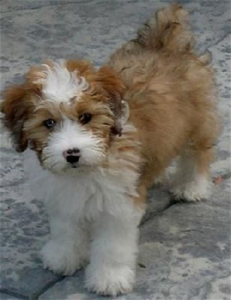 Do Miniature Aussiedoodle Shed by 76 Best Images About Dogs Hypallergenic On