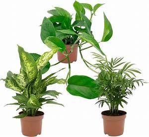 Zimmerpflanzen Auf Rechnung : zimmerpflanze gr npflanzen set h he 30 cm 3 pflanzen online kaufen otto ~ Themetempest.com Abrechnung
