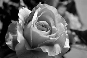 Küchenboden Schwarz Weiß : rose in schwarz wei foto bild pflanzen pilze flechten bl ten kleinpflanzen rosen ~ Sanjose-hotels-ca.com Haus und Dekorationen