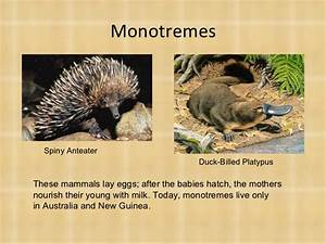 Image Gallery monotremes examples