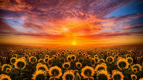 Sunset Red Sky Cloud Field With Sunflower Hd Desktop