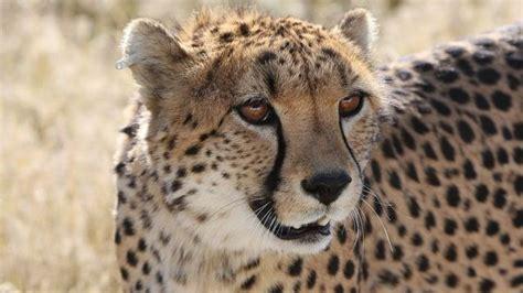 familia perseguida por guepardos en safari holandes tele