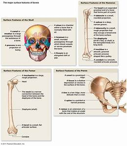 Types Of Bone Markings