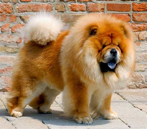 chow chow dog breed information pictures characteristics