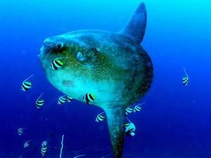 Weird Travel Wednesday: The Mola Mola