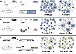 Mouse models of cell-autonomous neuron death and surviv ...