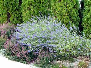 Plants That Give Off Light Water Conserving Landscape Plants Caryopteris X