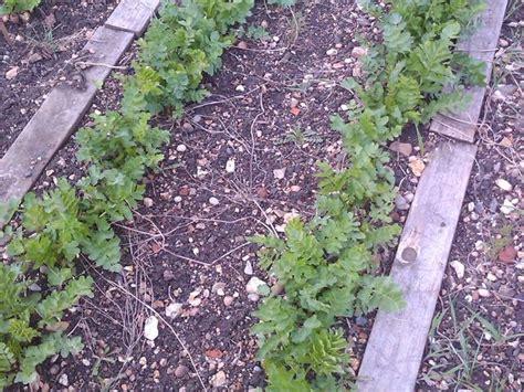 cuisine bio panais semis culture et récolte des principales variétés
