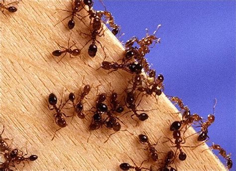 Ameisen Bekaempfen Die Besten Hausmittel by Ameisen Bek 228 Mpfen Die Besten Tipps Gegen Ameisen Im Haus
