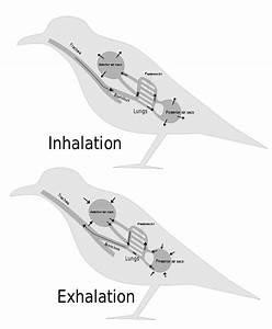 Biology Animal Respiration