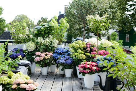 Hortensien Pflege  Was Sie über Die Schönen Blumen Wissen