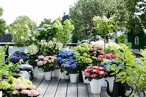 Hortensien Pflege Balkon : hortensien pflege was sie ber die sch nen blumen wissen ~ Lizthompson.info Haus und Dekorationen