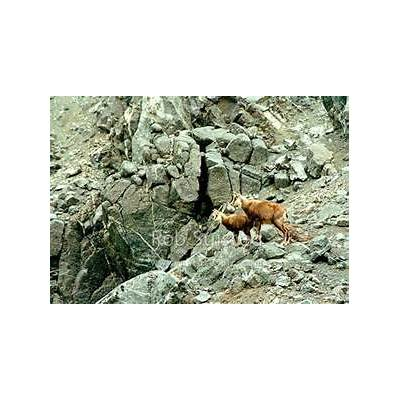 Wild Chamois doe and kid amongst high alpine rocks
