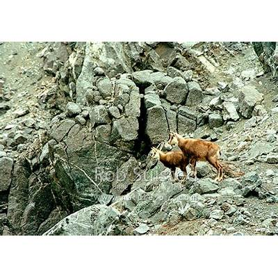 Wild Chamois doe and kid amongst high alpine rocks
