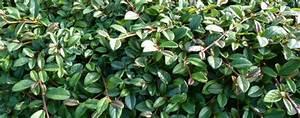 Rankpflanzen Winterhart Immergrün : zwergmispel radicans bodendecker ratgeber ~ A.2002-acura-tl-radio.info Haus und Dekorationen