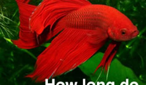 how do beta fish live plants for betta fish live betta tank tank scape my betta tank the river bed image gallery of