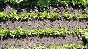 Salat Pflanzen Abstand : mair be mair bchen anbauen die eigenheiten ~ Markanthonyermac.com Haus und Dekorationen
