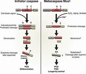Schematic Comparison Of Initiator Caspases And The Yeast Metacaspase