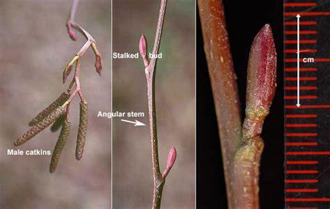 red alder oregon state univ landscape plants