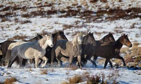 horses invasive species
