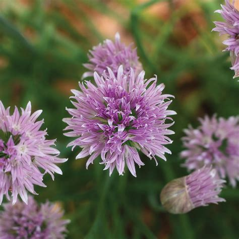 when do perennials return chive flowers sprouted garden