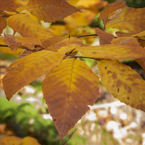 what tree leaves turn in fall trees of the adirondacks american beech fagus grandifolia