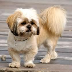 est 233 tica canina tosa ver 227 o no lhasa apso au au au
