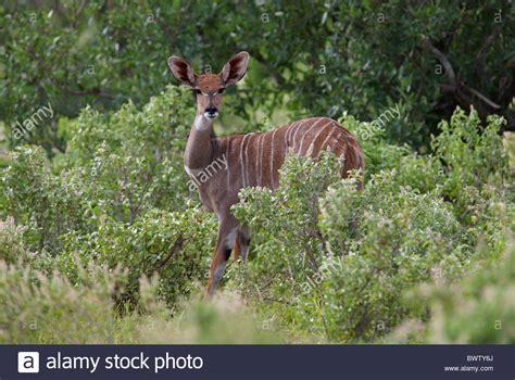 Kudu Kudus Africa African Antelope Antelopes Ruminant