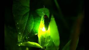 Firefly Season In Japan
