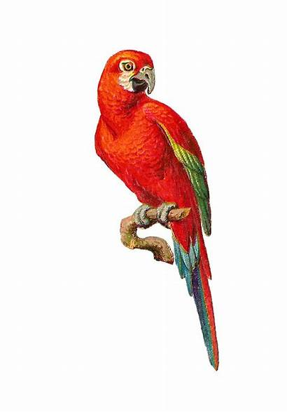 Parrot Macaw Clipart Bird Clip Graphic Colorful