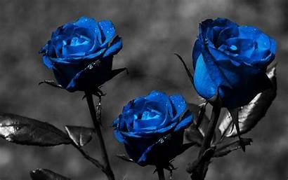 Rose Roses Widescreen Wallpapers Desktop Dark Background