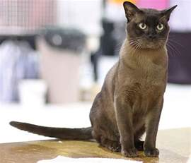 burmese cats burmese cat looks personality and how to care for your