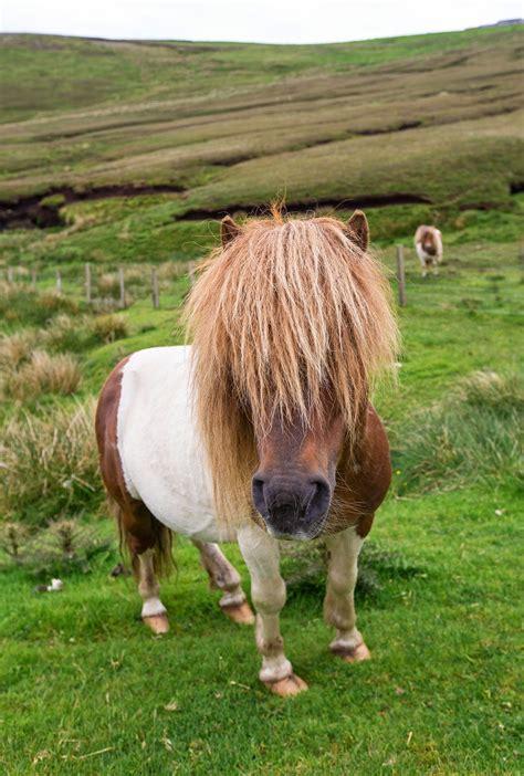 shetland ponies hair pony scotland shetlands