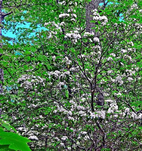 pictures of mountain laurel shrubs the mountain laurel shrub winnipesaukee photopost gallery