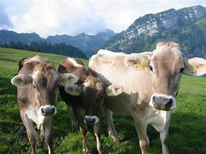 The 5 Best Dairy Cattle Breeds For The Homestead - Off The ...